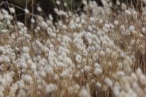 Grasses on the Cape